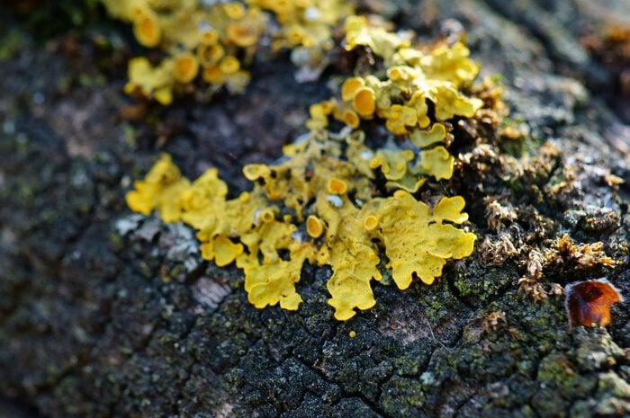 Licheni: le nostre sentinelle ambientali