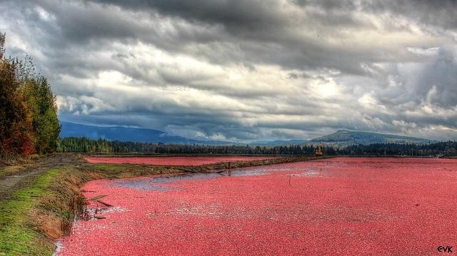 Cranberry: 10 cose che (forse) non sai sul mirtillo americano