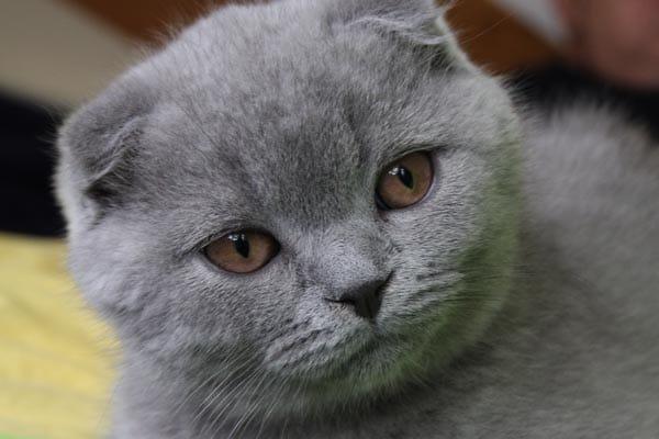 Scottish fold: gatti teneri per natura