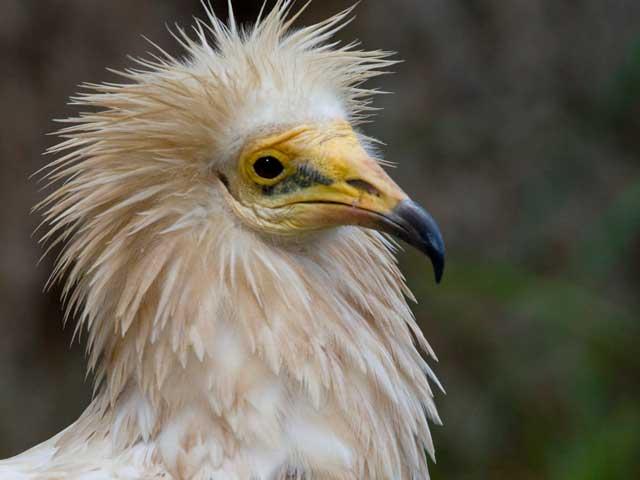 Il capovaccaio, un avvoltoio minacciato dall'uomo