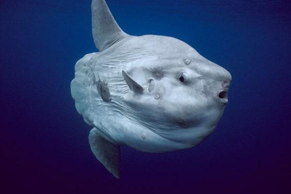 """Pesce luna, un """"bestione"""" che può vivere fino a 100 anni"""