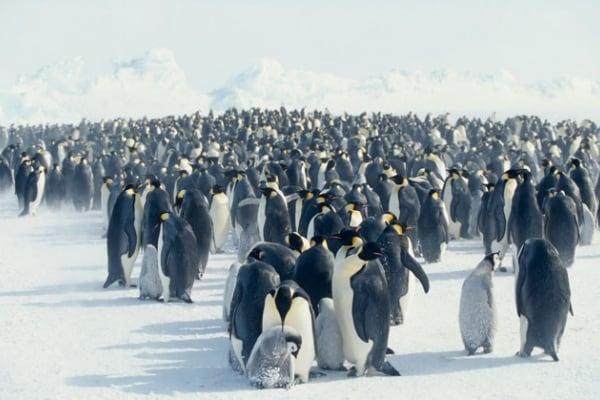 Il Pinguino imperatore, il boss dell'Antartide