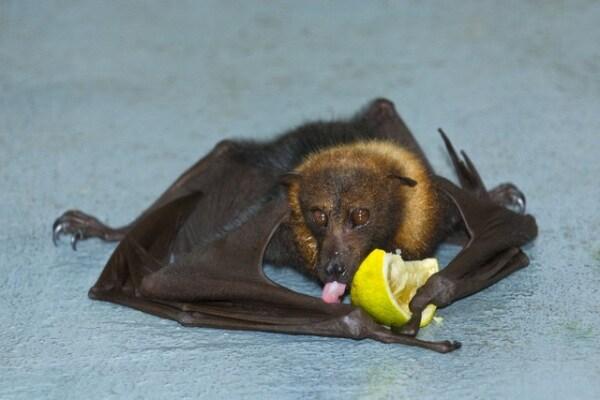 Il segreto di Bat Man | I pipistrelli potranno aiutare a curarci?