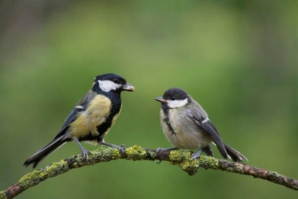 Linguaggio | Anche gli uccelli hanno una sintassi?