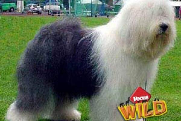 Bobtail: un cane tutto pelo!