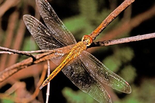 Libellula da record | Può volare per oltre 7mila km!