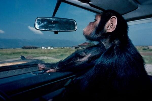 Le scimmie si riconoscono allo specchio?