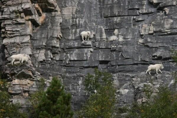 Curiosità animali: caprette super spericolate che scalano montagne | Focus Wild