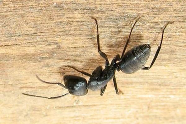 Come fanno le formiche a restare appese a testa in giù senza cadere?