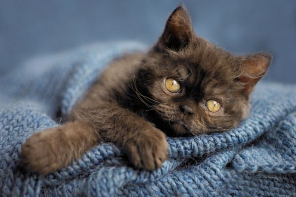 Sai davvero tutto sul simpatico gatto domestico?