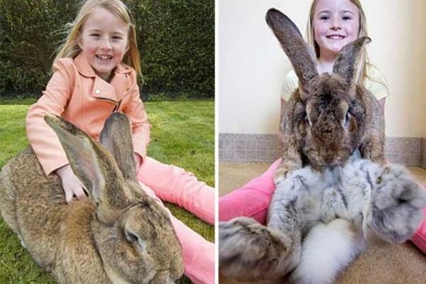 Darius è il coniglio più grande del mondo ma suo figlio potrebbe superarlo