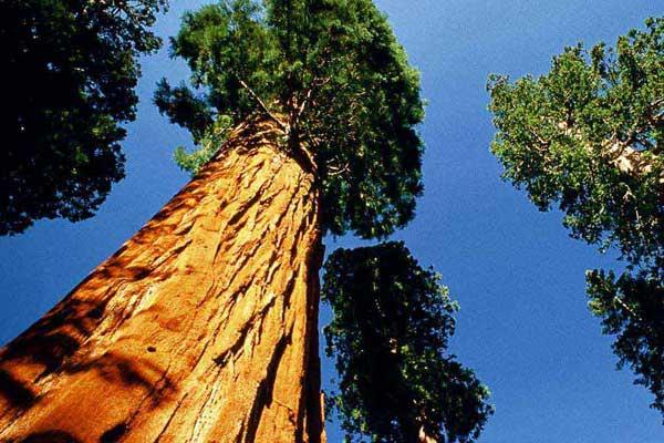 Lo sapevi che qual l albero pi alto del mondo for Statua piu alta del mondo