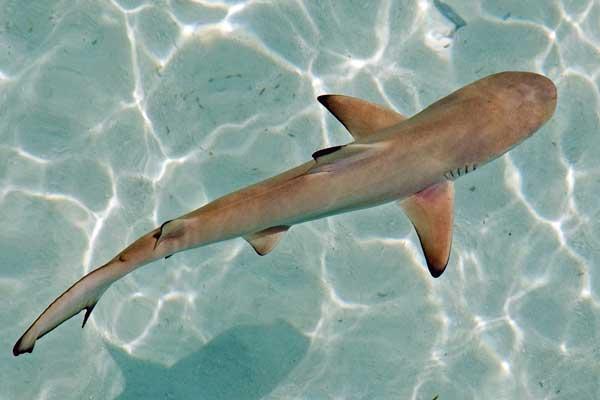 Lo sapevate tutto sugli squali focus junior for Immagini squali da stampare