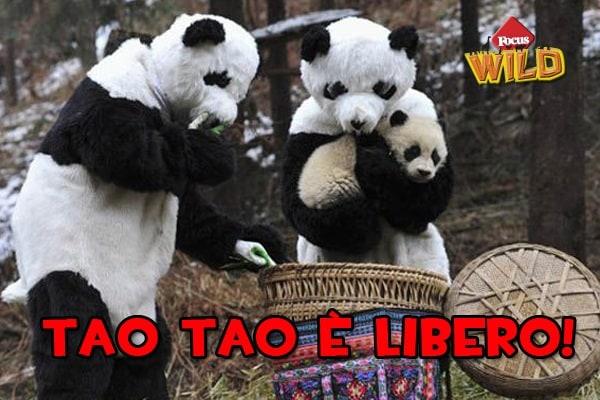 Curiosità animali: il panda Tao Tao è stato liberato | Focus Wild