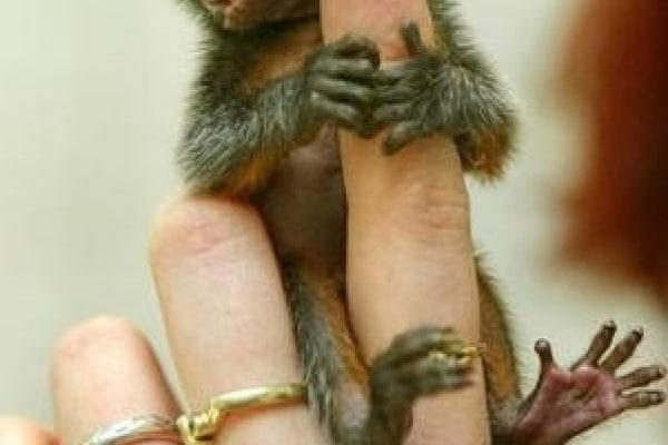 Animali teneri: le piccole scimmiette marmose
