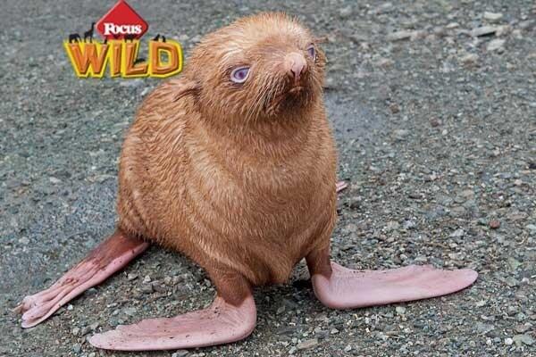 Curiosità animali: Ginger, la foca albina! | Focus Wild