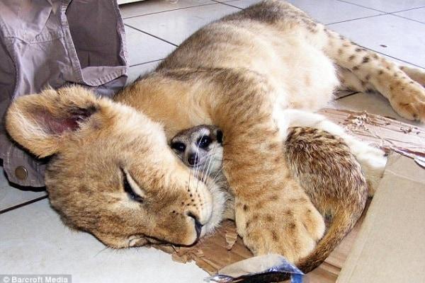 La leonessa e il suricato: un'amicizia strana