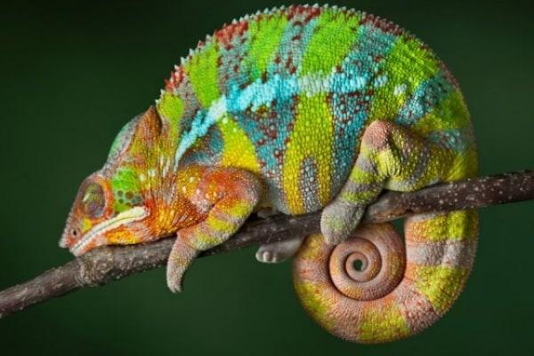Come comunicano i camaleonti?