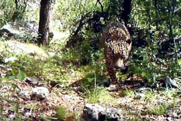Video | El Jefe, l'ultimo giaguaro nordamericano conosciuto
