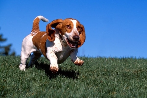 Basset hound | Zampe corte, orecchie lunghe e… tanta pelliccia!