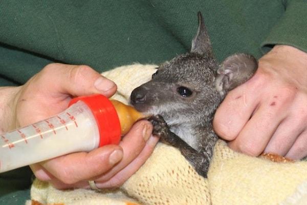 Germania | Piccolo di canguro cade dal marsupio. Lo aiutano gli umani!