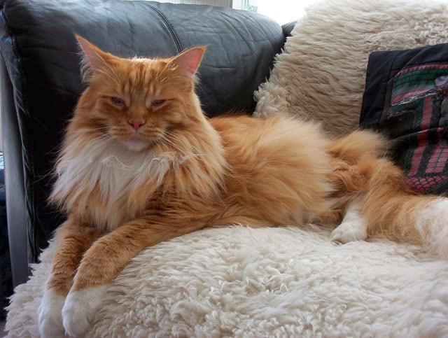 Che carattere, Maine Coon…