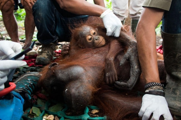 Il salvataggio degli oranghi. Le toccanti foto della delicata operazione