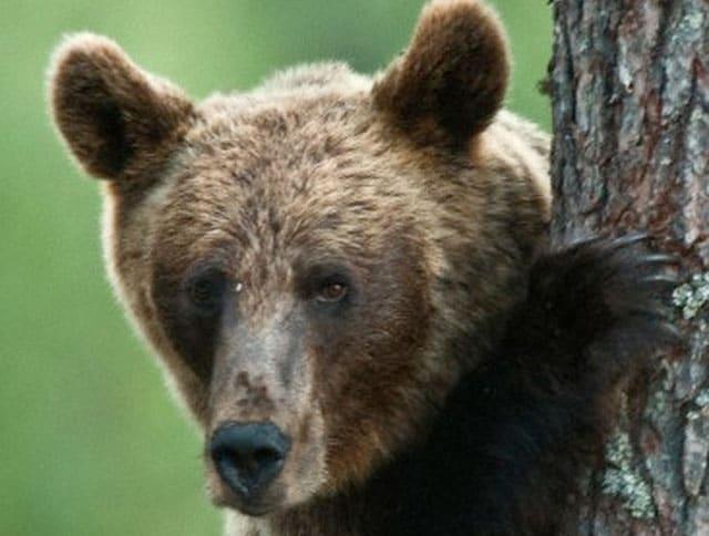 Scopriamo l'orso bruno!