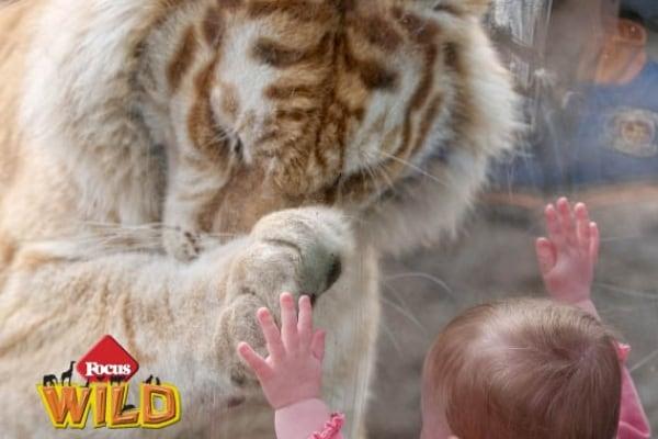 Curiosità animali: la tigre e la bambina | Focus Wild