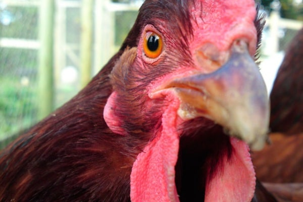 Perché i polli hanno carne bianca e carne scura? E noi?