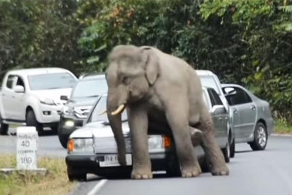 Elefante stanco e… annoiato si siede sulle auto. E le distrugge!