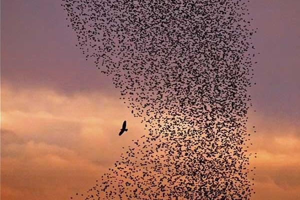 L'unione fa la forza: uno stormo di uccelli mette in fuga il predatore