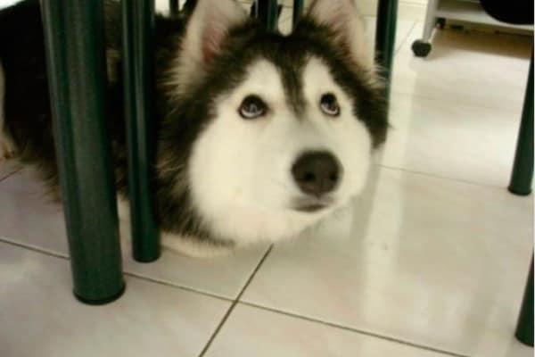 Tally, l'husky che si crede un gatto