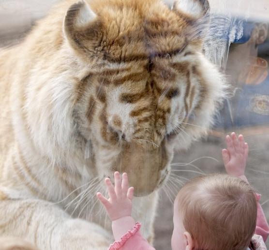 finest selection 283ac e7979 Curiosità animali: la tigre e la bambina   Focus Wild ...