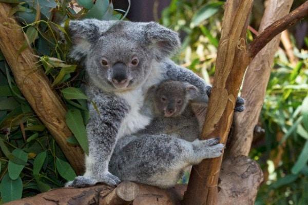 Il Koala, il simpatico dormiglione australiano!