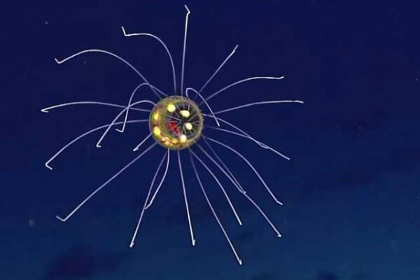 Le meravigliose meduse dell'abisso delle Marianne!