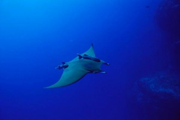 Un pesce misterioso: la mobula