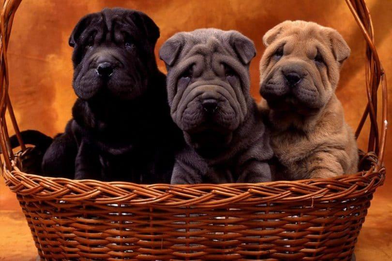 Shar pei: un cane tutto pelle!