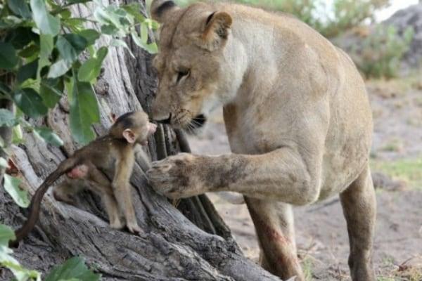 Le magie del mondo animale: la leonessa e il babbuino!
