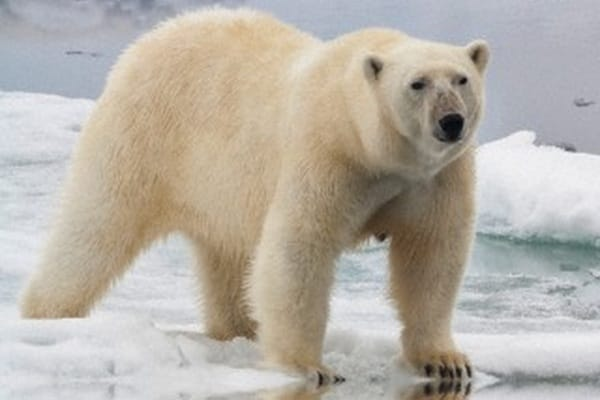 A spasso tra i ghiacci: l'orso bianco