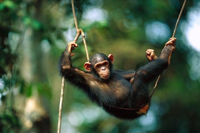 Lo scimpanzé, una scimmia davvero intelligente!