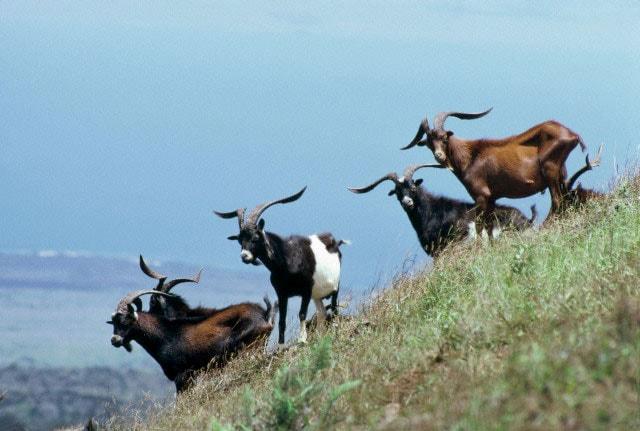 La capra domestica