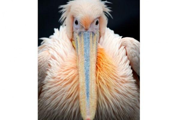 Tutto sul pellicano, il grande uccello migratore