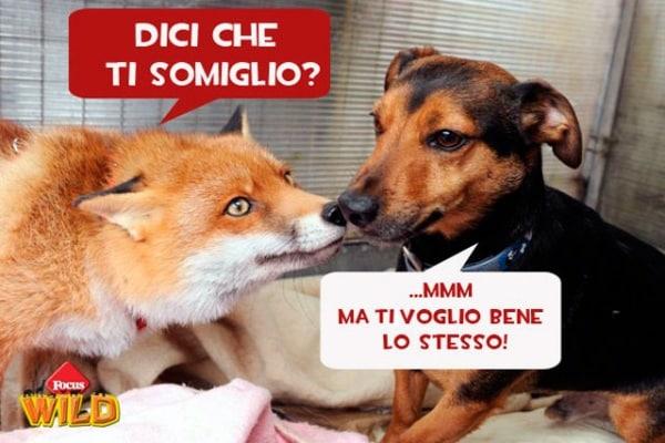 Curiosità animali | La volpe che si crede un cane!