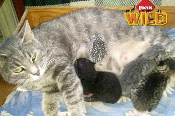 Curiosità animali: un gatto che adotta un piccolo riccio | Focus Wild