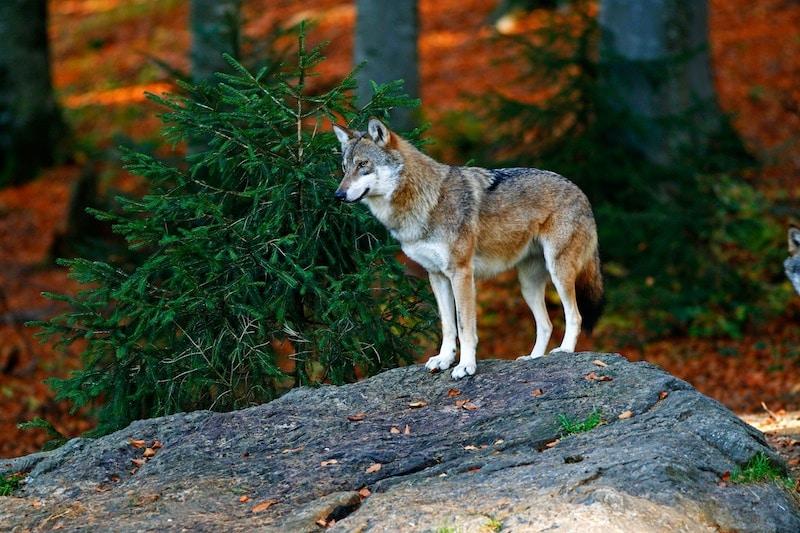 Secondo gli scienziati gli ululati dei lupi sono come i dialetti