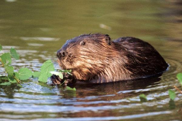 Curiosità animali: i castori combattono il cambiamento climatico | Focus Wild