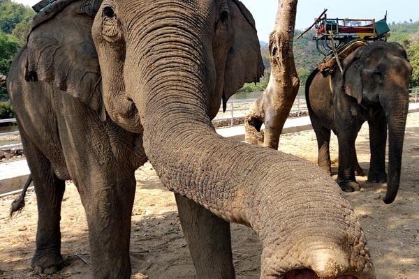 Gli elefanti annusano con la proboscide?