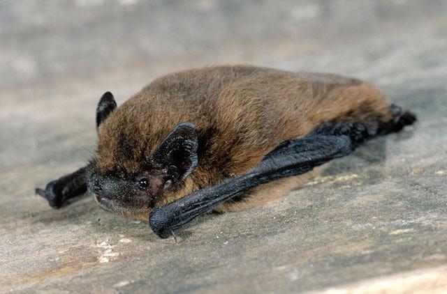 Il pipistrello nano