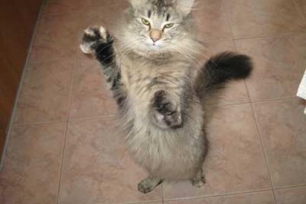 Il gatto norvegese: discende davvero dai Vichinghi?